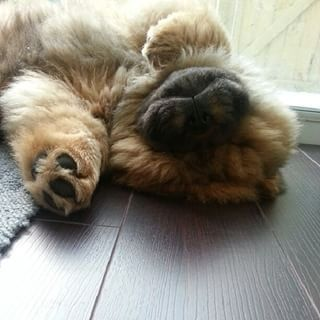 This guy who wants a new perspective. | 31 Chow Chow Puppies To Make Your Day A Little Fuzzier