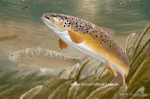 The Trout & the Fly by David Miller open edition print £34.00