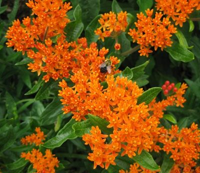 Hooray for the Perennial Plant Association!  Asclepias tuberosa - butterfly weed is the 2017 Perennial Plant of the Year.