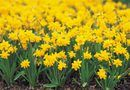 How to Propagate a Daffodil Flower