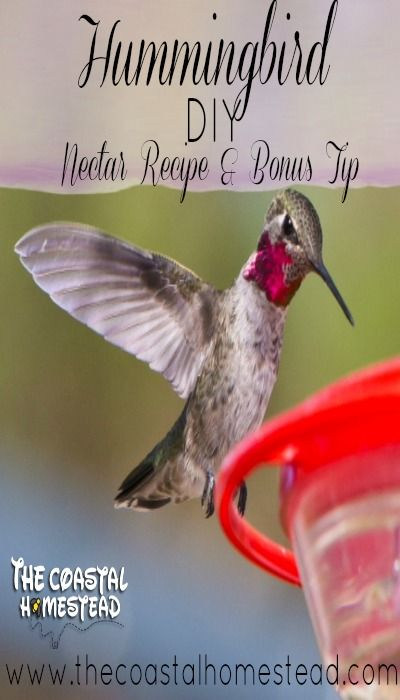 DIY Hummingbird Nectar Recipe and Bonus Tip.