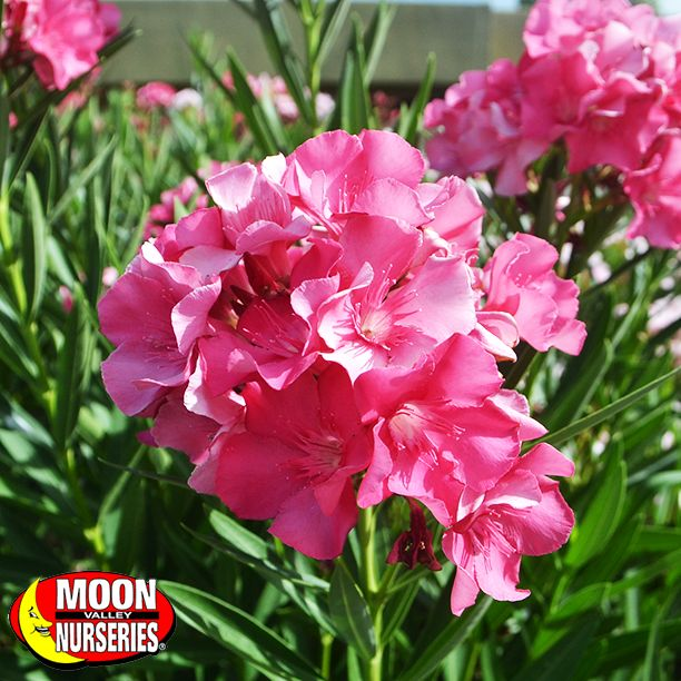 This week's Friday Flower comes from the Oleander. Its flowers bloom in a variety of colors including red, white, and pink. The Oleander is great for privacy, anywhere you need a small tree, hedges, or just a splash of color. Oleanders are very hardy and will withstand drought.