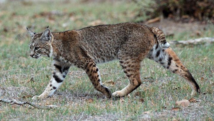 Calero Creek Trail Bobcat - Bobcat - Wikipedia, the free encyclopedia