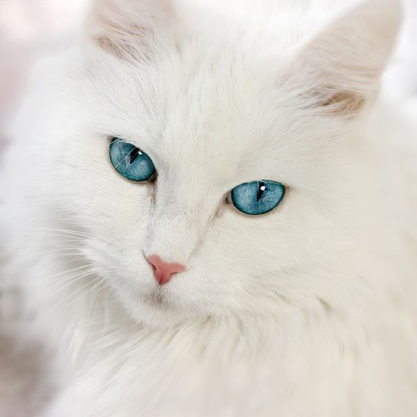 Gorgeous White Kitty With Blue Eyes
