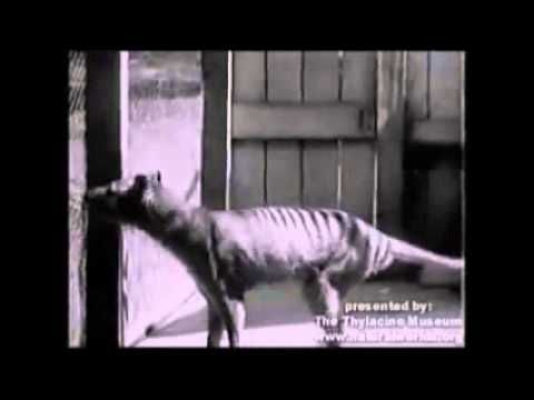 Le thylacine / loup marsupial / loup de Tasmanie / tigre de Tasmanie