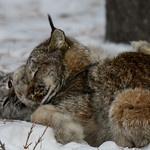 Hoewel veel katachtigen worden bedreigd, geldt dit gelukkig niet voor de Canadese lynx, een middelgrote kat met een kort staartje en pluimen aan de oren. Opvallend is de dikte van de poten in verhouding tot de lichaamsgrootte om nog maar niet te spreken van de enorme voeten! In de winter doen die dus zeer goed dienst als sneeuwschoenen,