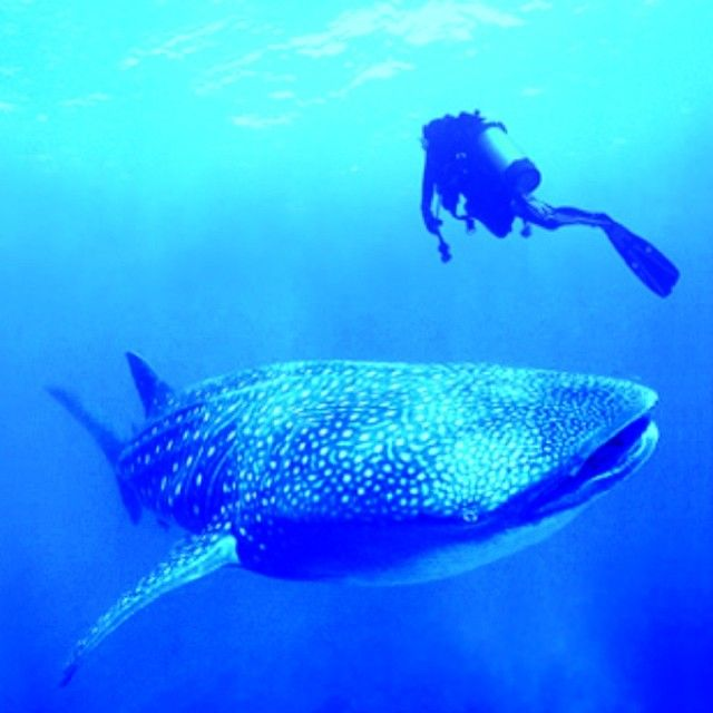 Great whale shark pic from Koh Tao Thailand shared by a PADI fan on Instagram.