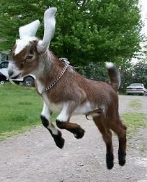 Nubian Dairy Goat, so playful!    Just how did you get this picture? Must be sheer luck!