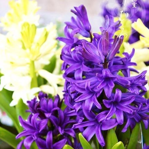 【kyoto_omuro】さんのInstagramをピンしています。 《【メディアで話題の京都老舗花屋】 お誕生日を迎えられた皆様、おめでとうございます。  1月26日の誕生花は【ヒアシンス】です。花言葉は『スポーツ・ゲーム・遊び』などです。  京都花室 おむろでは、 #桜盆栽 など、たくさんのフラワーギフトを販売しております。詳しくはウェブをご覧ください。検索:【おむろ】  #京都花室おむろ #おむろ #花 #誕生花 #胡蝶蘭 #蘭 #桜 #盆栽 #御室桜 #祝 #誕生日プレゼント #誕生日おめでとう #仁和寺 #御室仁和寺 #omuro #flower #birthdayflowers #orchid #sakura #cherryblossom #bonsai #omurosakura #anniversary #birthdaypresent #japan #ninnaji #omuroninnajistation》