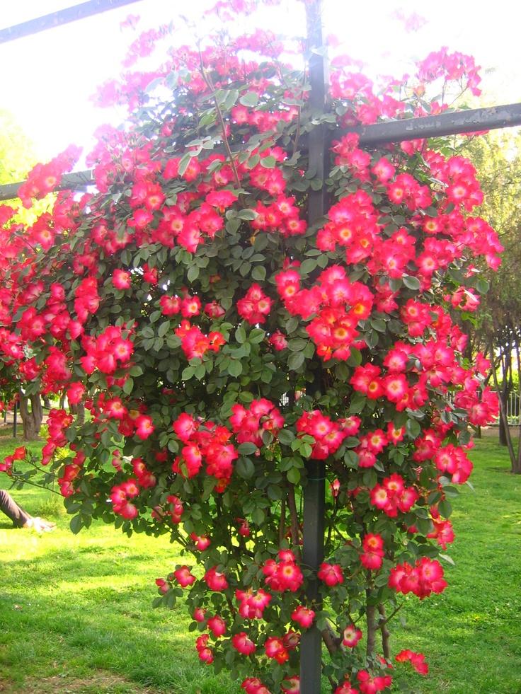 M s de 25 ideas incre bles sobre rosas trepadoras en for Arbustos ornamentales para jardin