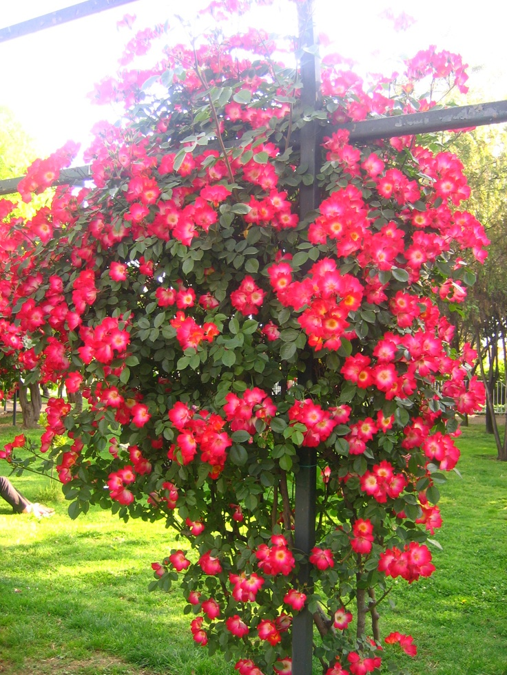 Las 25 mejores ideas sobre rosas trepadoras en pinterest for Arboles de flores para jardin