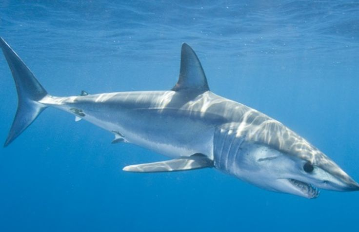 Tiger Sharks (not to be confused with the smaller and more docile leopard shark)…