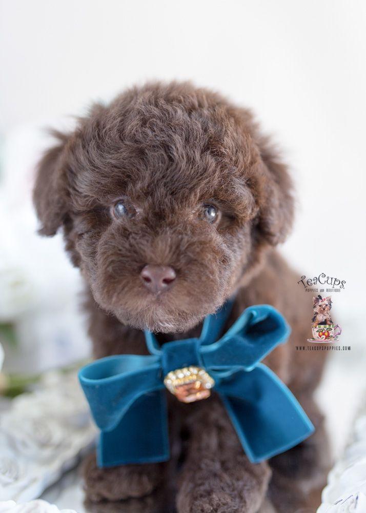 Chocolate Poodle Puppy For Sale 237 C Miniature Poodle