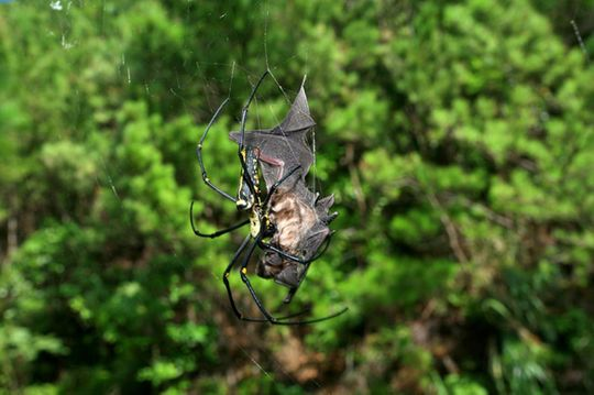 Bat-eating spiders are common and apparently creep around every continent, except Antarctica, devouring various bat species. Here, a dead bat (<em>Rhinolophus cornutus orii</em>) caught in the web of a female <em>Nephila pilipes</em> on Amami-Oshima Island, Japan.