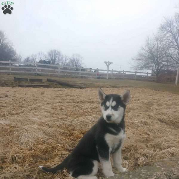 Ophelia Siberian Husky Puppy For Sale In Ohio Siberianhusky Husky Husky Puppy