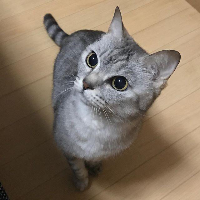 ♡ おもちゃで遊んでいる時のゴンちゃん😼 獲物を追いかける目をしてる🤣❤️❤️ 狙いを定めて、おめめが真っ黒だ😆🐾 ダイソーのおもちゃだけどすごく遊んで 満足してるみたいです〜👏😽🎉🍀 極楽ねこカレンダー2018参加中💘🙋 よかったら投票してくださいにゃ🙇♀️✨ #cat#neko#ねこ#猫#ネコ#キャット #日本猫#雑種猫#アメショもどき#愛猫 #ゴンちゃん#サバトラ#にゃんこ#美猫 #みんねこ#にゃび#はにぺと部#picneko #ニャンダフルライフ#ピクネコ#ねこ部 #にゃんだふるらいふ#ペコねこ部#ぬこ #ニャンスタグラム#ネコスタグラム #ウェブキャットショー#ウェブキャットショー2 #極楽ねこカレンダー#ねこまみれ
