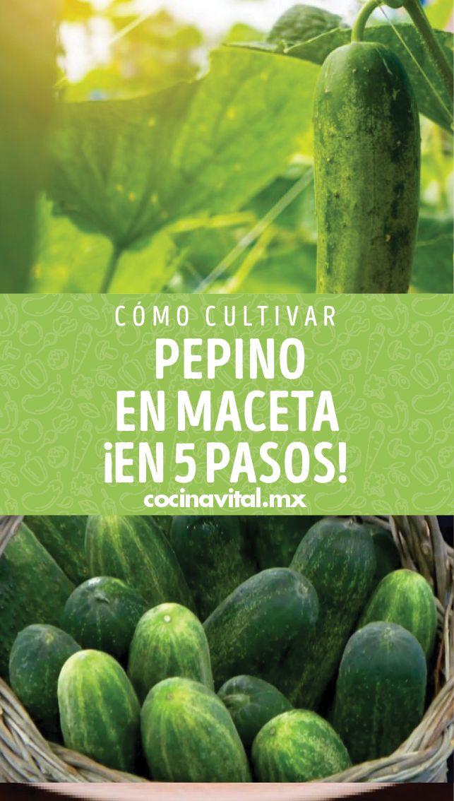 ¡Pon manos a la obra! Aprende cómo cultivar una planta de pepino en casa y no morir en el intento ¡Para armar una buena ensalada! Cucumber, Garden Sculpture, Watermelon, Terraces, Fruit, Vegetables, Crepes, Plants, Gardens
