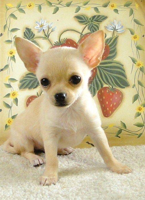 Chi Idols Home Chihuahua Dogs Chihuahua Puppies Cute Chihuahua