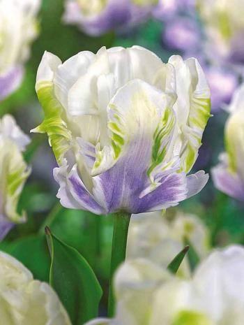 10 Tulipes perroquet 'White Lizard'