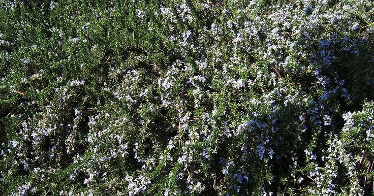 The 2 Minute Gardener: Photo - Prostrate Rosemary (Rosmarinus officinalis)