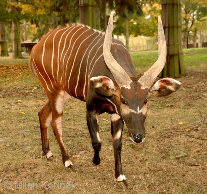 Tragelaphus eurycerus - Bongo antelope | Animals | Pinterest