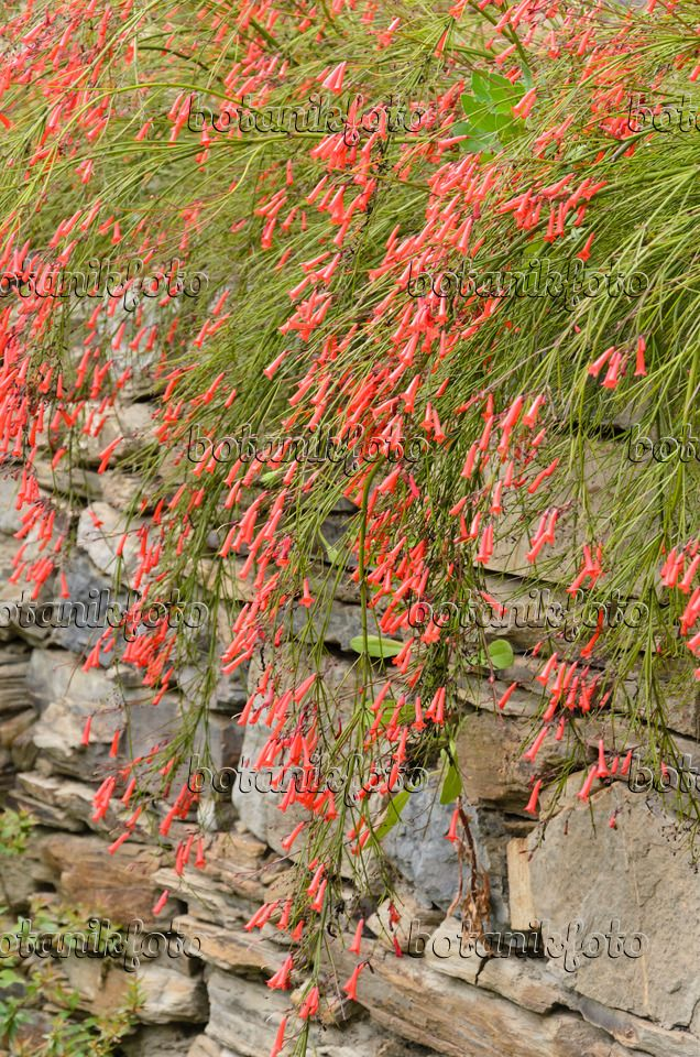Firecracker plant (Russelia equisetiformis) in a stone wall -