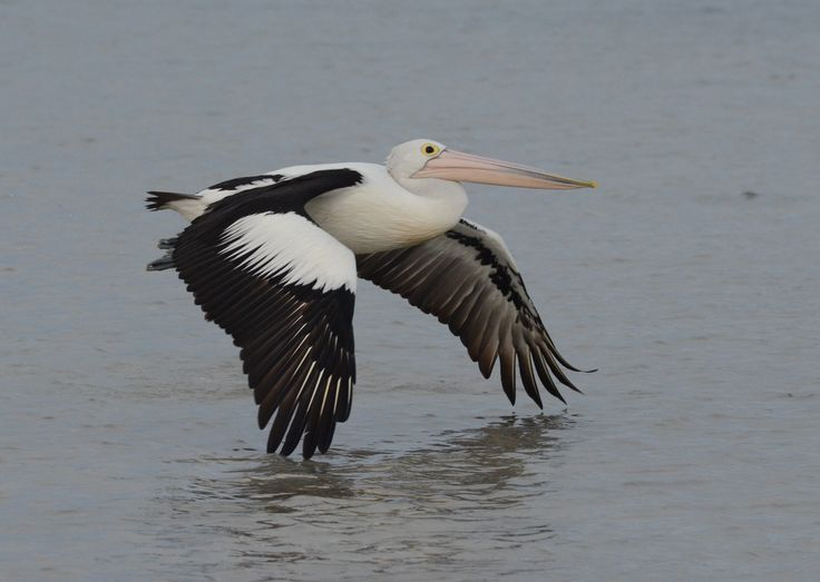Low flying pelican