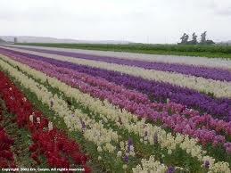 Lompoc CA. Flower fields