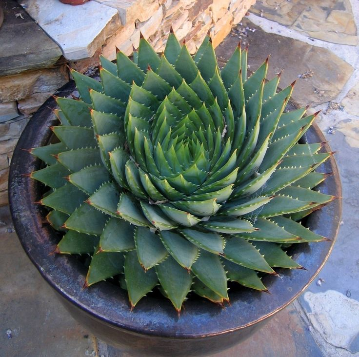 Aloe polyphylla (Aloe espiral) por GreenHouseBotanical en Etsy                                                                                                                                                                                 Más