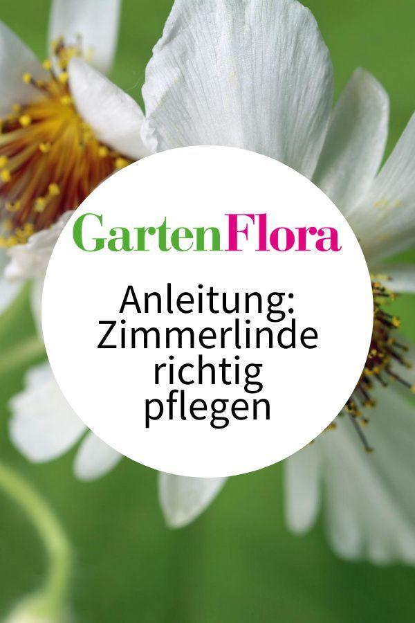Zimmerlinde Zimmerbaum Mit Weichen Blattern In 2020 Zimmerlinde Pflanzen Zimmer Pflanzen