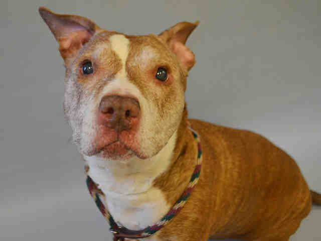 14 YEARS!!! POOR POOR SWEETHEART!! SHAME ON YOU OWNER!!! SUPER URGENT Manhattan Center DIAMOND – A1093979  SPAYED FEMALE, BR BRINDLE / WHITE, AM PIT BULL TER MIX, 14 yrs OWNER SUR – EVALUATE, NO HOLD Reason MOVE2PRIVA Intake condition UNSPECIFIE Intake Date 10/19/2016, From NY 10451, DueOut Date 10/19/2016,