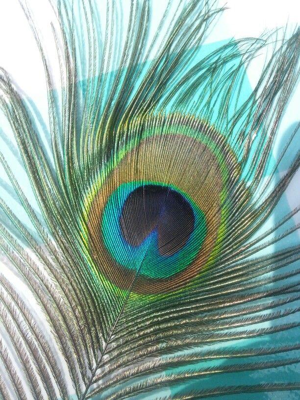 Pauwenveer Peacock ArtPeacock FeathersFeather 21