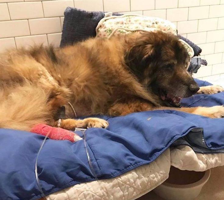 Últimas noticias del estado de Vicente, el perro anciano abandonado con el hocico atado dentro de una bolsa de basura #perro #perros #animales #animal #mascota #mascotas #noticia #noticias #schnauzi #milagro #nuevayork #newyork #maltratoanimal #foto #fotos #dog #dogs