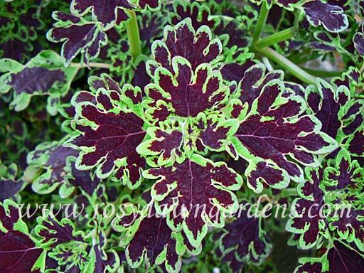 Inky Fingers Coleus | RosyDawnGardens.com : Online Coleus Plant Catalog | Rosy Dawn Gardens, | Coleus Growing Specialists