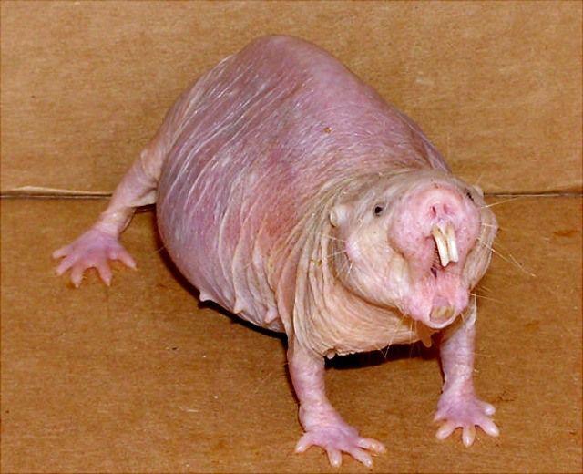 Chicago Zoological Society - Naked Mole Rat