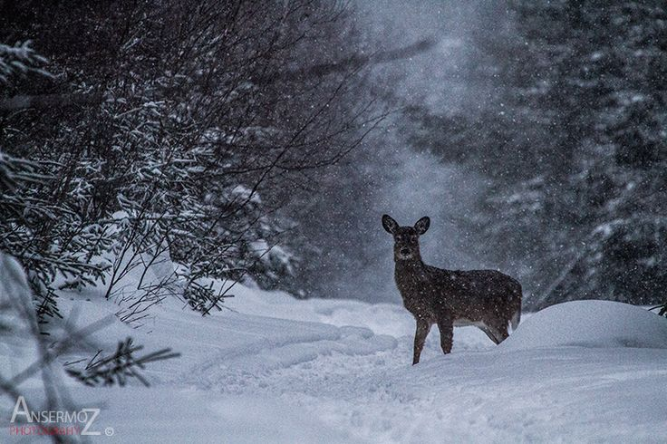 Snow Deer by Frederic Ansermoz Photography on 500px.com