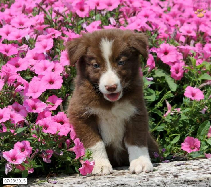 Kurt Border Collie Puppy for Sale in New Providence, PA
