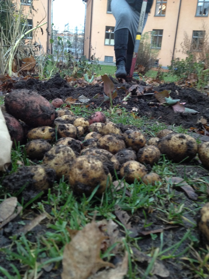 Sista skörden av färskpotatis (December) från gårdens kolonilott