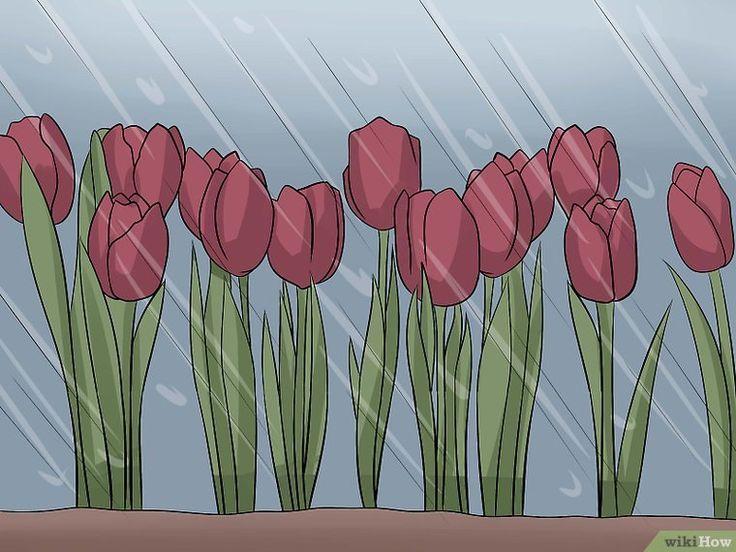 Cómo plantar y cuidar tulipanes: 14 pasos (con fotos)