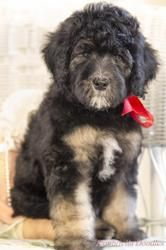 She is one of our bernedoodle pups from last summer......one of the best puppies ever!