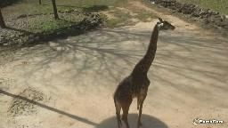 Giraffe Cam, Greenville Zoo