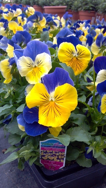 Power Flowers - Pansy
