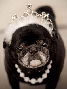 Princess pug ✿⊱╮