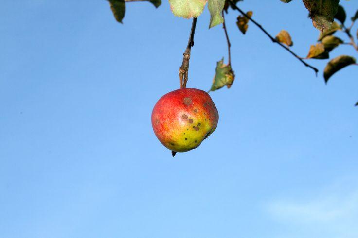 Tag des Apfels am 11.1.