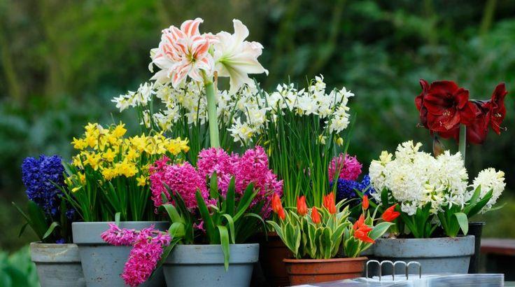 Луковичные цветы в горшках