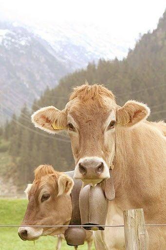 Cows, cow bells, pines, mountains - I can't decide which subject I like most in this picture.