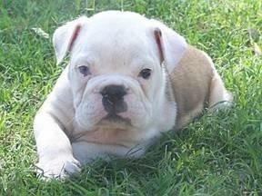 Jag Valentino, an Australian Bulldog, at 7 weeks old.