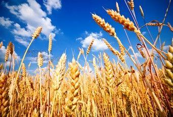 Pšenice :P