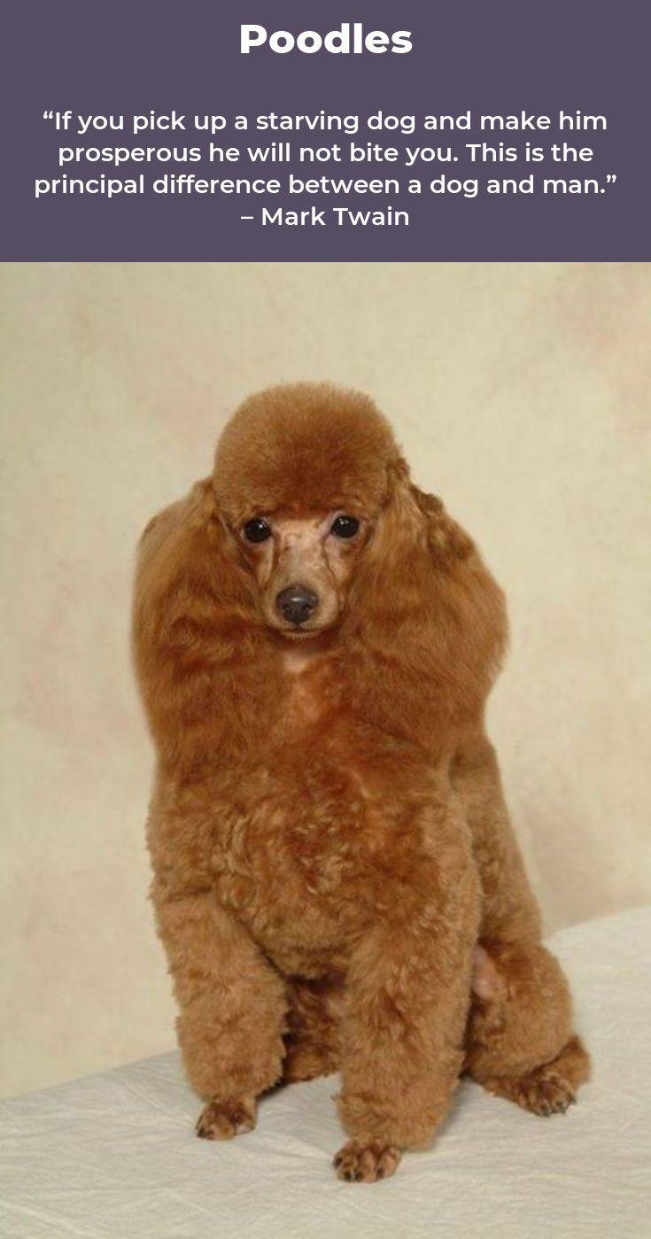 Poodles Smart Active And Proud Poodle Puppy Poodle Pup
