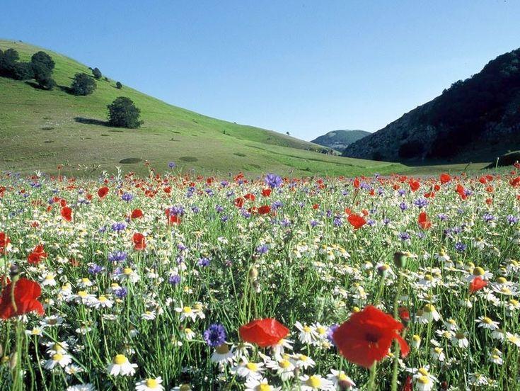 prato con fiori di campo e papaveri